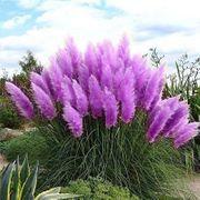 Pampasgrassamen blau gelb lila rosa