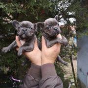 Wunderschöne französische Bulldogge Welpen zur