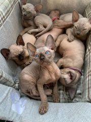 Sphynx Babykatzen