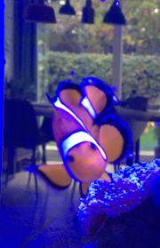 Ocellaris - Clownfisch Nachzucht