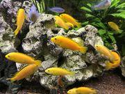 Gelber Labidochromis Yellow