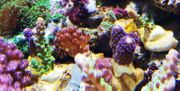 Meerwasseraquaristik - SPS Ableger - Acropora Montipora