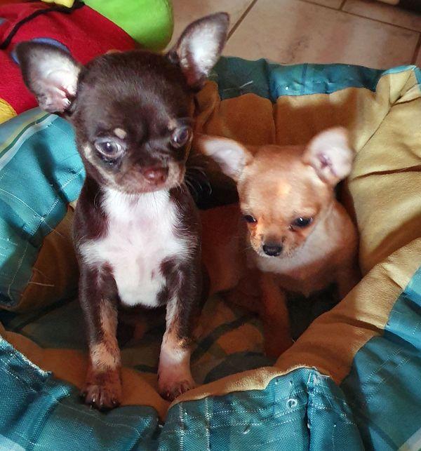 Chihuahuawelpen suchen ein liebevolles Zuhause