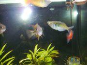 2 Gruppen Regenbogenfische ab 25