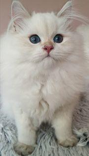 wunderschönes BLH Kitten in seal