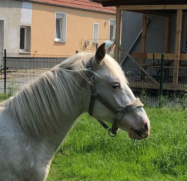 Quarter Horse Mix zu verkaufen