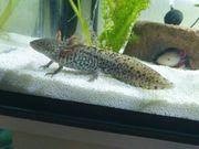 Axolot Wildling vermutlich weiblich