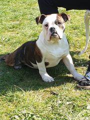 Old Englisch Bulldog OEB Weibchen