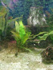 Pflanzen für s Aquarium