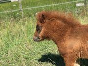 Mini-Shetland Stutfohlen Dunkelfuchsschecke