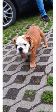 New Englishe Bulldog
