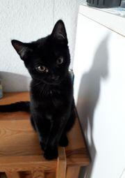 Wunderschöne schwarze Katzebaby abzugeben
