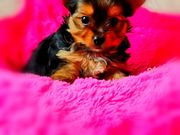 Yorkshire Terrier Mini Zwerge