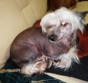 Chinese crested Hündin