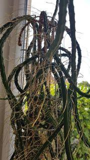 großer Kaktus Königin der Nacht