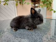 Kaninchenbabys abzugeben Jungs