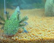 Süße verschiedene Axolotl BD frei