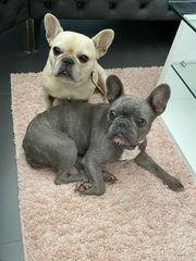 Liebevolle Französische Bulldoggen Hündin Fawn