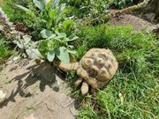Griechisches Landschildkröten Weibchen NZ 1996