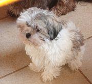TraumWelpen Allergiker geeignet Familienhund