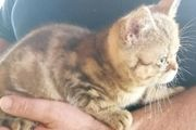 BKH Kitten absofort in liebevolle
