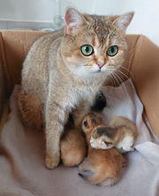 Bkh kitten katzenbabys reinrassig golden