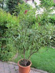 Oleander Pink