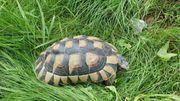 Breitrandschildkröten NZ2011 Testudo marginata
