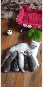 Britisch kurzhaar kitten katzenbabys kätzchen