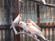 Kanarienvögel Rotmozaik