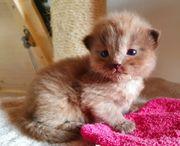Ragdoll Kitten mit Papieren