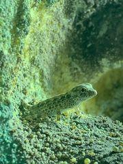 pristurus carteri Dhofar Skorpionschwanzgeckos