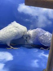 Wellensittich Spalt Haubenwellensittiche Zuchtpaar