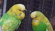 Junge und Nestjunge Wellensittiche