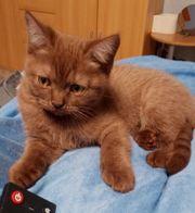 BKH Kitten 280 EUR