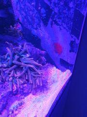 Anemonen Kupferanemone Meerwasser Aquarium