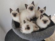 wunderschöne Heilige Birma Kitten