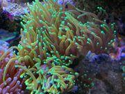 Korallen Euphyllias