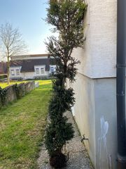 Toskana Säulen-Zypresse - 2 5-3 Meter