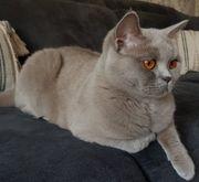 Reinrassige Btitisch Kurzhaar Katze