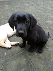 Süße Welpen Labrador-Goldie-Mix ab sofort