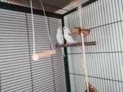 Wellensittiche Käfig