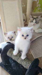 Reinrassige wunderschöne Ragdoll Kitten
