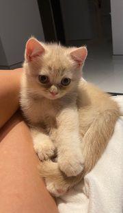 Wunderschöne BKH Kitten