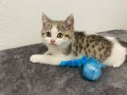 BKH Kitten suchen liebevolles Zuhause