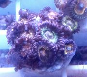 Zoa Reverse space Monster