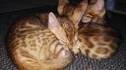 Bengal Katzen Kitten suchen neues