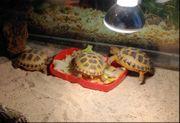 Vierzehn Russiche Steppenschildkröte Landschildkröte