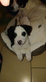 Dogge Mischling Tiermarkt Tiere Kaufen Quoka De