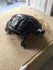 Wasserschildkröte 9 Jahre alt